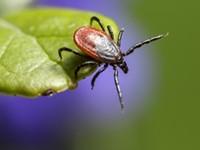 Arboweetjes: Ziekte van Lyme toegelicht afbeelding nieuwsbericht