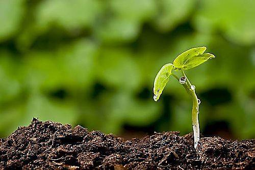 Hoeveel fosfaat heeft een plant nodig?