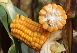 Steeds vaker kalium-tekort in maïs